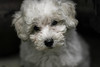 Candela (Malena_c) Tags: dog perro puppy poodle caniche cachorro cute 5bestdogs