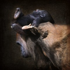 Family Portrait (Christina's World-) Tags: gorilla baby nature wildlife textures animal