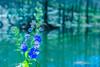 Blue Flower 蓝色多瑙河 (幻影留梦) Tags: gibbs garden early spring flower statue japanese georgia south living sony fe 24105mm f4 g oss lens sel24105g