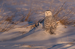 Snowy Owl in the snow (NicoleW0000) Tags: snowy owl white arctic bubo scandiacus bird snow winter wildlife outdoor photography nature february morning thoughherlens