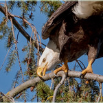 bald eagle cleaning routine thumbnail