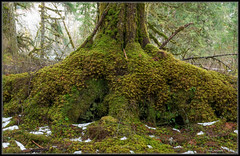 Your Loving Arms (Ernie Misner) Tags: f8andloveyourtree tree rainforest middleforkofthesnoqualmieriver northbend ferns river erniemisner nikond810 d810 2470 washington
