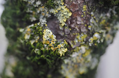 Lichen Encrusted Branch 2 of 2 (Orbmiser) Tags: mzuikoed1240mmf28pro 43rds em1 mirrorless olympus ore portland m43rds moss lichen tree