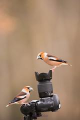 double clic (photopierrot44) Tags: oiseaux bird d610 birds passereaux passereau oiseau animaux appareil photo nikon nature objectif grosbec