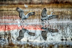 Reflection landing (Ross Forsyth - tigerfastimagery) Tags: bosque bosquedelapache newmexico wildlife nature reserve nr birds sandhillcranes sandhill cranes usa 2014 wild avian reflection reflections landing