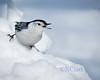 We got peanuts! (N.Clark) Tags: birds birdphotography wildbirds nuthatches whitebreastednuthatchsittacarolinensis whitebirdinsnow snowbackground manitobabirds winter naturethroughthelens