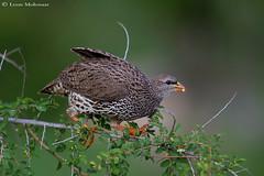 Natal Spurfowl (leendert3) Tags: leonmolenaar wildlife nature southafrica krugernationalpark birds natalspurfowl ngc npc