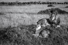 Black & White Royal Pair (MWVVerb) Tags: 2015 kenya mara masai migration triangle wildeye