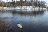 The calm after the storm (lilredlizzie) Tags: swan bird birds birding beautiful snow snowy winter weather woods hornpond water pond trees reflection canon canon6d canon2470l beauty pretty landscape amazing animal animalplanet outside outdoors nature naturelovers massachusetts newengland woburn