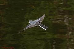 Bergeronnette grise (2) (Ezzo33) Tags: france gironde nouvelleaquitaine bordeaux ezzo33 nammour ezzat sony rx10m3 parc jardin oiseau oiseaux bird birds bergeronnette grise
