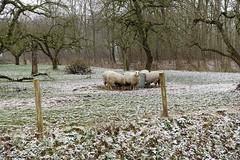 Schapen in het Brakels bos (Marja S) Tags: kasteelbrakel brakelsbos landgoedbrakel brakel gelderland