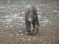 Strolling through the blizzard (Nobby) (LadyRaptor) Tags: yorkshirewildlifepark yorkshire wildlife park doncaster ywp nature outdoors winter spring springtime cold freezing cloudy snow flakes snowflakes snowing blizzard squall snowsquall shower snowstorm flurry wind windy blowing gusty blustery wild bird birds gull gulls scavengers scavenging meat food meal rocks grass walking walk stroll strolling patrolling happy content cute animal animals predator carnivore caniformia ursidae polarbear polarbears male polar bear bears ursusmaritimus projectpolar nobby