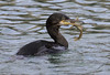 European Shag (phalacrocorax aristotelis) (Steve Ashton Wildlife Images) Tags: european ramsgate aristotelis bird harbour kent phalacrocorax sea seabird shag