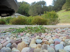 DSC02327 (classroomcamera) Tags: driveway driveways car cars wheel wheels tire tires rock rocks pebble pebbles surface bump bumps bumpy grass weed weeds plant plants tree trees yard foreground background leading line lines floor floors ground grounds park parks parked parking