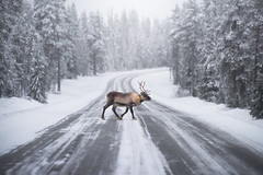 Roadblock (TheFella) Tags: finnish northerneurope travelphotography finland fennoscandia arcticcircle animal trees dslr road lapland landscapephotography photography conormacneill thefella d810 lightroom ice arctic nikon winter crossing reindeer european ivalo nordic republicoffinland processing wildlife suomi tree ford slr forest photograph postprocessing photo travel digital nature adobe snowy thefellaphotography europe thearctic frozen