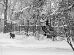 Two crows and a dog (amm78) Tags: 702104 a550 pushkin sony stpetersburg animal bird dog winter crown amm78 blackandwhite street
