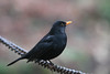 Being snooty (M_squared Images) Tags: blackbird turdusmerula msm1935 wilts stourton stourhead nationaltrust