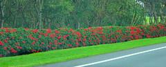 The red hibiscus fence: HFF! (peggyhr) Tags: peggyhr hff fence hibiscus red trees dedication green hawaii heartawards carolinasfarmfriends visionaryartsgallerylevel1