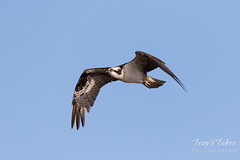Male Osprey landing sequence - 1 of 28