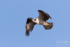 Male Osprey landing sequence - 6 of 28