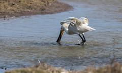 DSC_3458 (Adrian Royle) Tags: lincolnshire framptonmarsh rspb nature wildlife bird heron spoonbill nikon