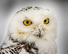 It's c-c-c-cold out here! (Dr. Farnsworth) Tags: owl bird large female head eyes stare yellow ice snow feathers muskegon mi michigan winter december2017 nationalgeographic worldwide