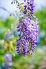 紫藤Wisteria (游萬國) Tags: 花 紫藤 flower purple wisteria 紫 陽明山