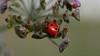 P1030383_PSE (Florent VOULOIR) Tags: boissyauxcailles macro coccinelle