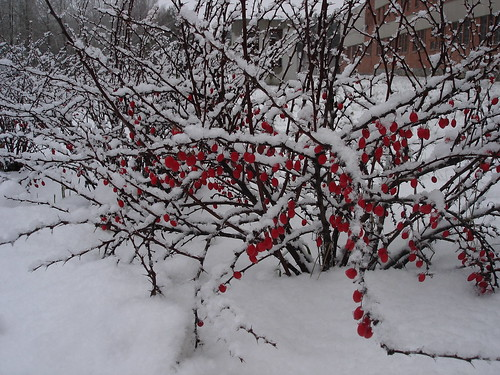 Барбарис в снегу ©  ayampolsky