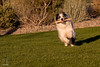 The Art of Stick Findery (Jasper's Human) Tags: aussie australianshepherd dog run stick fun play