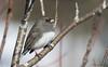 Dark-eyed Junco (Melissa M McCarthy) Tags: darkeyedjunco junco bird songbird animal nature outdoor wildlife neutral grey white cute portrait stjohns newfoundland canada canon7dmarkii canon100400isii