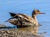 Red-breasted Merganser (backyardzoo) Tags: duck merganser redbreasted