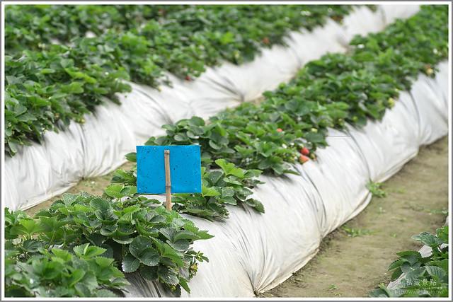 善化草莓 來去晴空農場找無農藥栽種的草莓 (11)