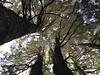 Coigües en Puesco (Mono Andes) Tags: andes chile chilecentral regióndelaaraucanía parquenacional parquenacionalvillarrica puesco coigüe fagaceae bosque nothofagusdombeyi