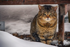 Lord Howlingsworth (flashfix) Tags: march082018 2018inphotos ottawa ontario canada nikond7100 55mm300mm nikon flashfix flashfixphotography portrait cat feline howlingsworth stray lion tabby snow outdoors winter