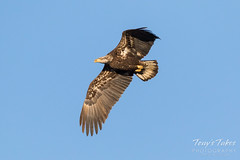 Sub-adult Bald Eagle flyby