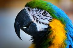 Beauty of the Beast... (victoriameyo) Tags: ara parrot colorful closeup portrait nature bright beautyofthebeast smileonsaturday beauty
