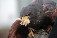 Bon Appétit  - https://www.youtube.com/watch?v=dPI-mRFEIH0 (carlo612001) Tags: hawk harrishawk harris falco poiana bonappétit katyperry raptors predators