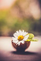 Spring is coming (Ro Cafe) Tags: doubleglassoptic lensbaby spring stilllife daisy flower macroconverter garden outdoors naturallight blur bokeh nikond600