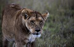 Mom Stare (Dankoe92) Tags: lion safari serengeti africa lioness nature stare