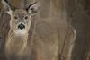 Deer at Banning State Park, Minnesota (ryanmense) Tags: wildlife minnesota deer whitetailed nature banningstatepark woods forest winter