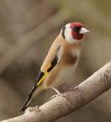 408A5286 (bonser54) Tags: rspb old moor goldfinch british birds wildbirds wildlife