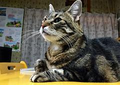 Collar-less Tigger on the Table (sjrankin) Tags: 13march2018 edited animal cat tigger closeup table kitchen window curtains yubari hokkaido japan