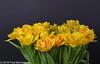 """Spring in our livingroom"" (Fred / Canon 70D) Tags: westcott tulipamonsella tulpen tulips flowers canon canon70d canoneos ef50mmf14usm westcottsilverumbrella jinbeidiffusionjumboumbrella jinbei falconeyesskk2150d falconeyes spring spring2018 eefde closeup 50mm tulip"
