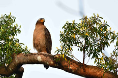 Crested Serpent Eagle 蛇鵰 大冠鷲 (Jeffreycfy) Tags: birds birding nature wildlife animals raptors nikon d500 nikkor200500mmf56e tc14eiii accipitridae spilomischeela eagles crestedserpenteagle 鷹科 猛禽 蛇鵰 大冠鷲