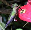 Unidentified (asterisktom) Tags: tripecuadorperu2018 ecuador 2018 january baeza bird vogel ave 鸟 птица 鳥 pajaro hummingbird feeder unidentified