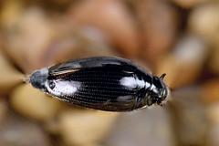 Gyrinus sp. (NakaRB) Tags: insecta coleoptera gyrinidae gyrinus 2012