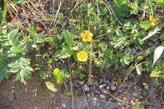 Potentilla reptans_Europe Vienna Schonbrunn1 (Alka Khare) Tags: potentilla rosaceae