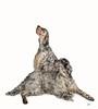 CS24 (Chris Willis 10) Tags: skye cara studio dog pets animal studioshot mammal whitebackground domesticanimals canine purebreddog cutout cute vertebrate sitting fulllength younganimal oneanimal nopeople whitecolor small looking crufts