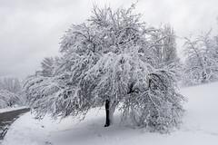 DSC09631 (Plant Image Library) Tags: arnold aboretum boston massachusetts winter 2018 botany ecology science morphology plants nature trees new england peters hill arboretum massacusetts horticulture